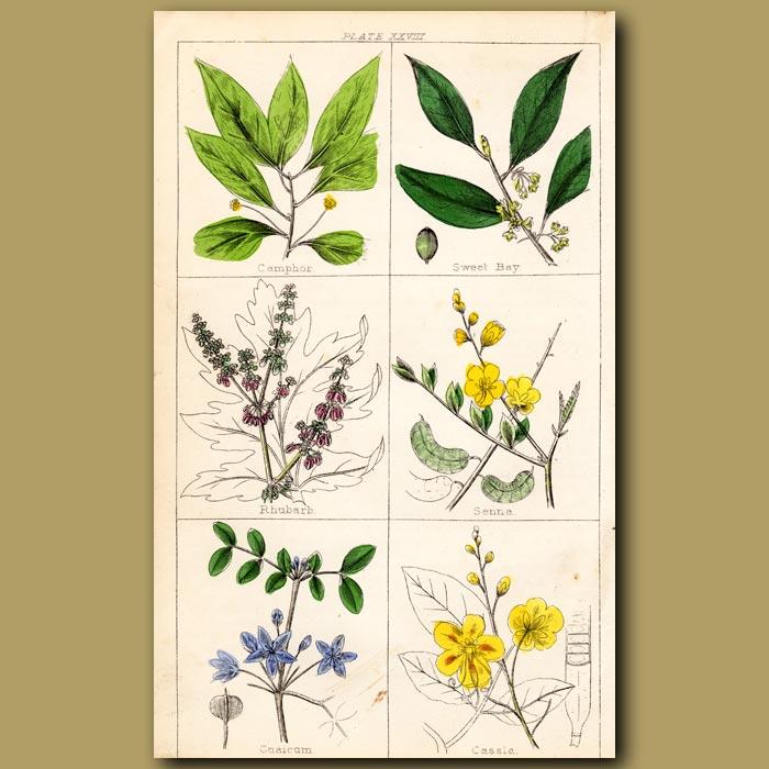 Antique print. Camphor, Sweet Bay, Rhubarb