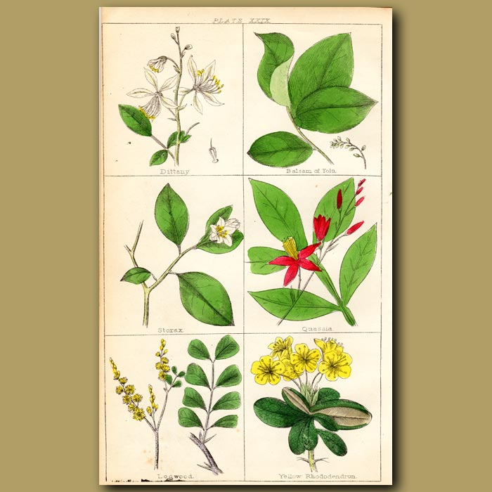 Antique print. Dittany, Balsam of Tolu, Storax