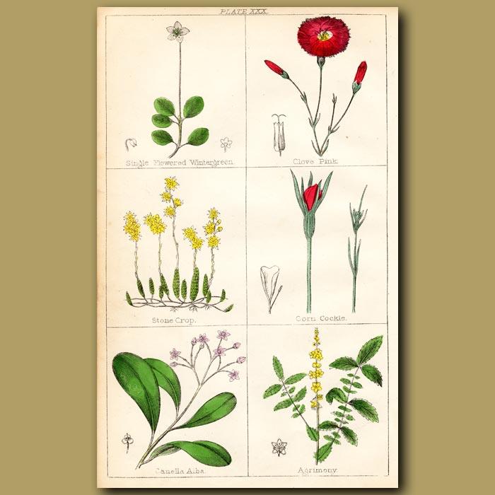 Antique print. Wintergreen, Clove Pink, Stone Crop
