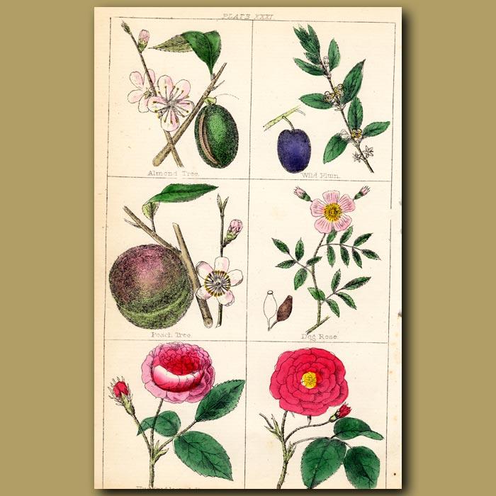 Antique print. Almond Tree, Wild Plum, Peach Tree