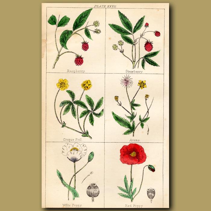 Antique print. Raspberry, Strawberry, Cinquefoil