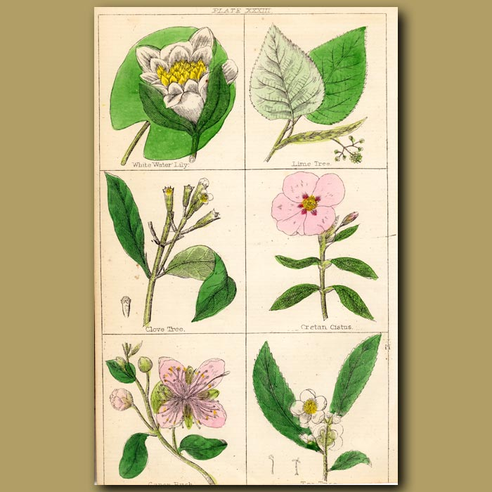 Antique print. White Water Lily, Lime Tree, Clove Tree