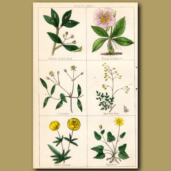 Antique print. Winter Bark Tree, Black Hellebore, Clematis