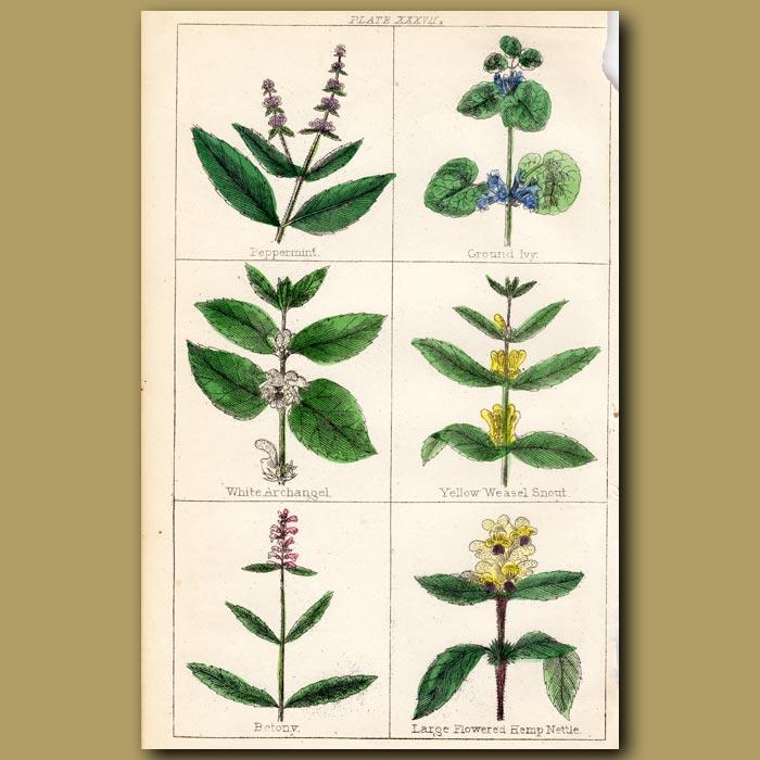 Antique print. Peppermint, Ground Ivy, White Archangel