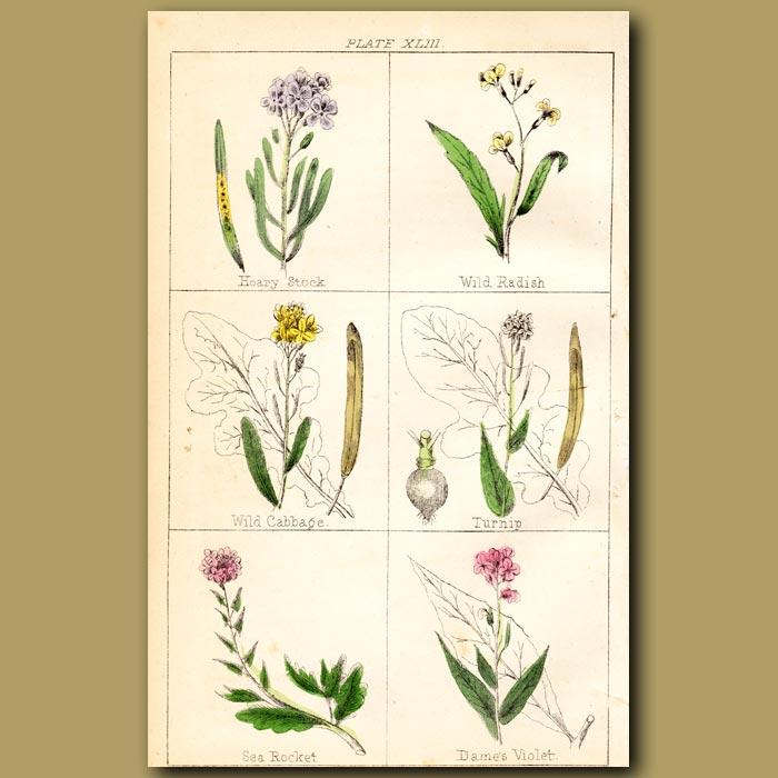 Antique print. Turnip, Sea Rocket and Dame's Violet