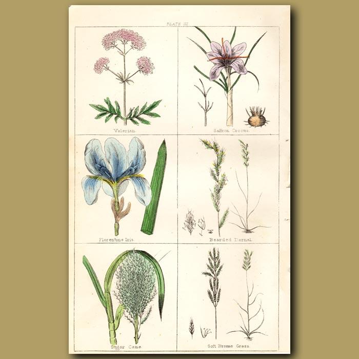 Antique print. Sugar Cane, Saffron Crocus, Florentine Iris