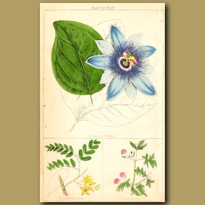Antique print. Passion Flower, Tamarind Tree and Herb Robert