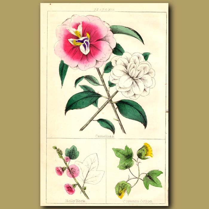 Antique print. Camellia, Holly Hock and Common Cotton