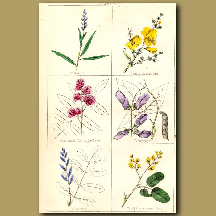 Antique print. Milkwort, Common Broom, Bastard Cabbage Tree