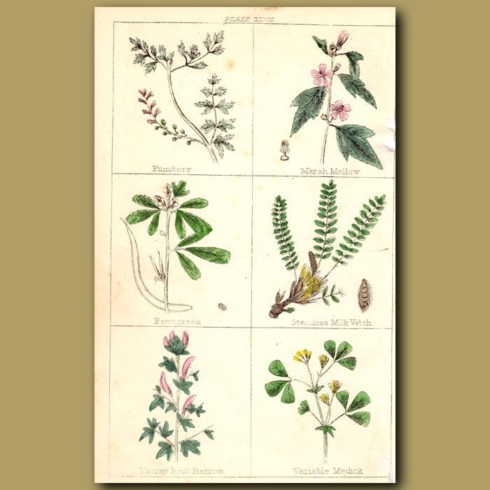 Antique print. Fumitory, Marsh Mallow, Fenugreek