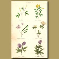 Melilit, True Medick, Purple Coromilla