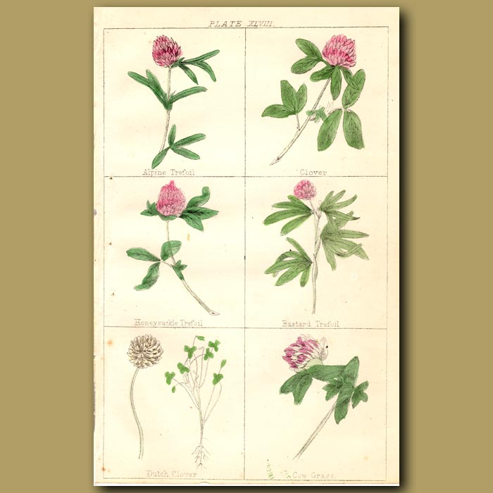Antique print. Alpine Treoil, Clover, Honeysuckle Trefoil