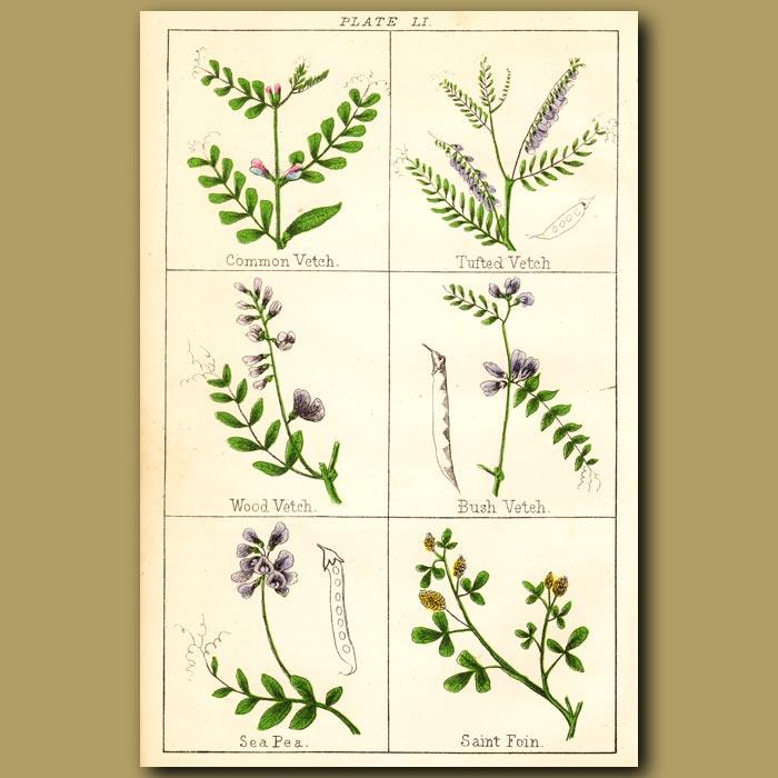 Antique print. Common Vetch, Tufted vetch, Wood vetch