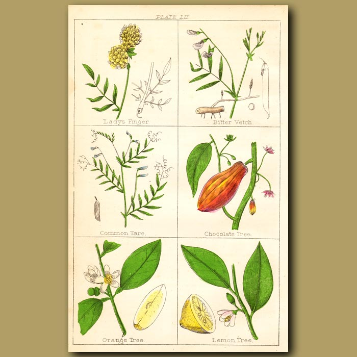 Antique print. Chocolate Tree, Orange Tree, Lemon Tree