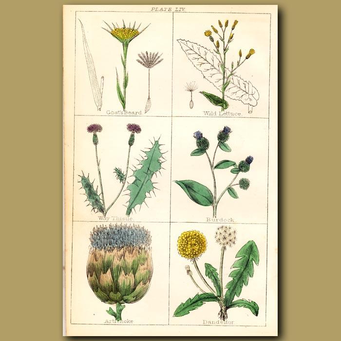 Antique print. Burdock, Artichoke, Dandelion