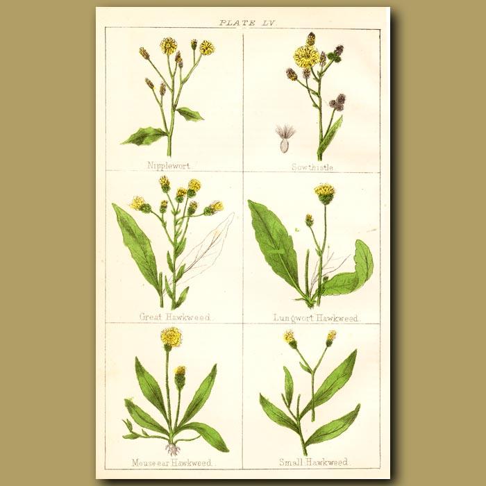 Antique print. Nipplewort, Sowthistle, Great Hawkweed