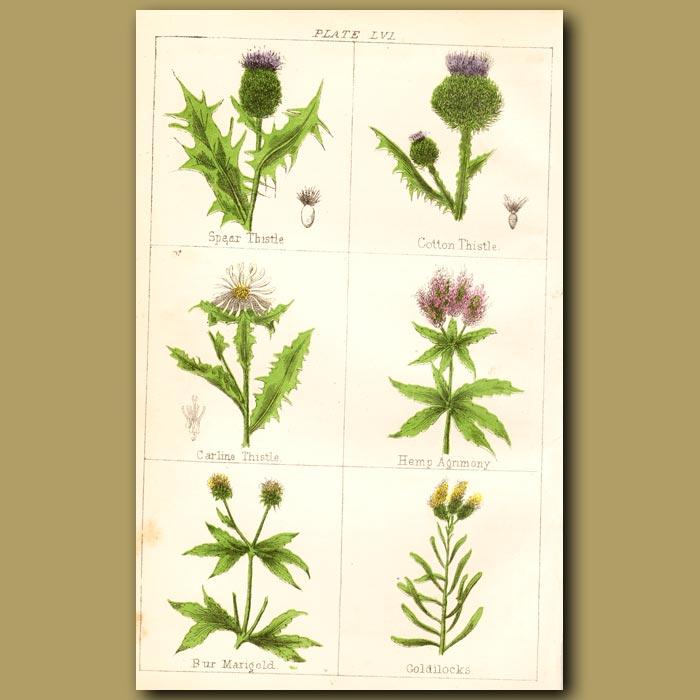 Antique print. Spear Thistle, Cotton Thistle, Carline Thistle
