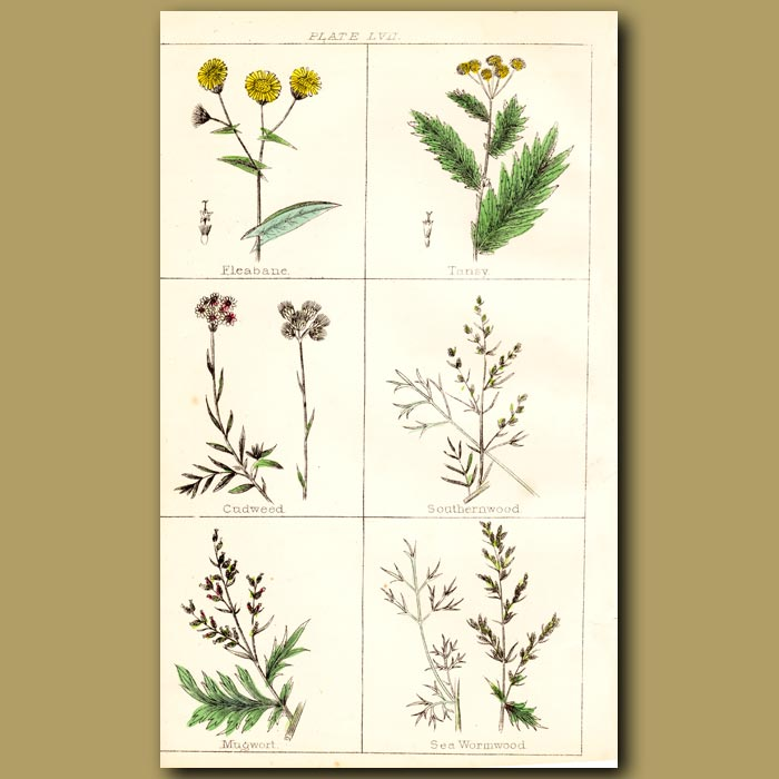 Antique print. Fleabane, Tansy, Cudweed