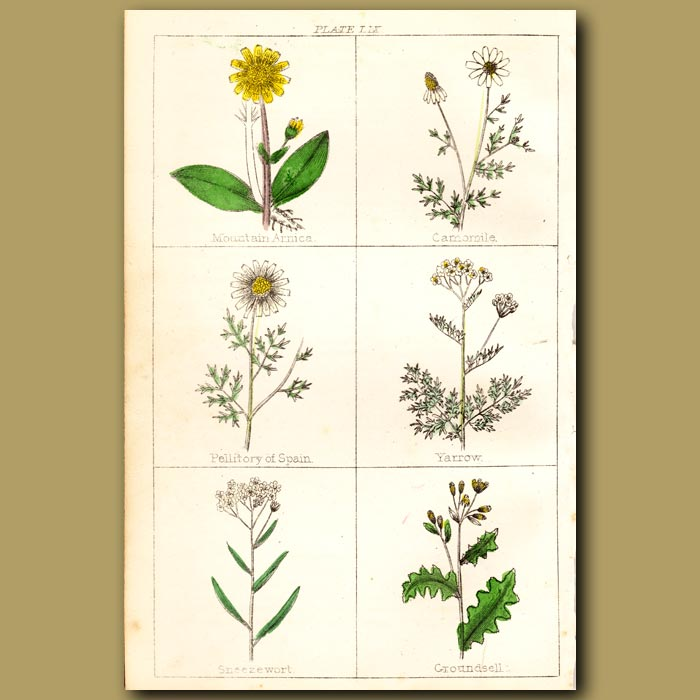 Antique print. Mountain Arnica, Camomile, Pellitory of Spain