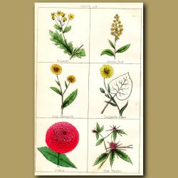 Ragwort, Golden Ros, Corn Marygold