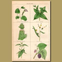 Birthwort, Spurge, Bur-reed, Nettle, Mulberry