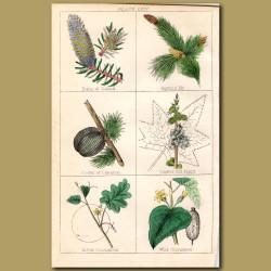 White Birch, Scotch Pine, Chesnut
