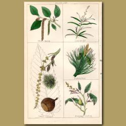 Spruce Fir, Cedar of Lebanon