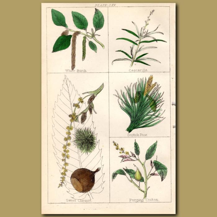 Spruce Fir, Cedar of Lebanon: Genuine antique print for sale.