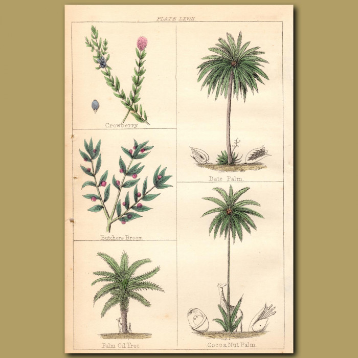 Date Palm, Palm Oil Tree, Cocoa Nut Palm: Genuine antique print for sale.