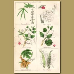 Common Hemp (Cannabis), Black Bryony, Chinese Smilax