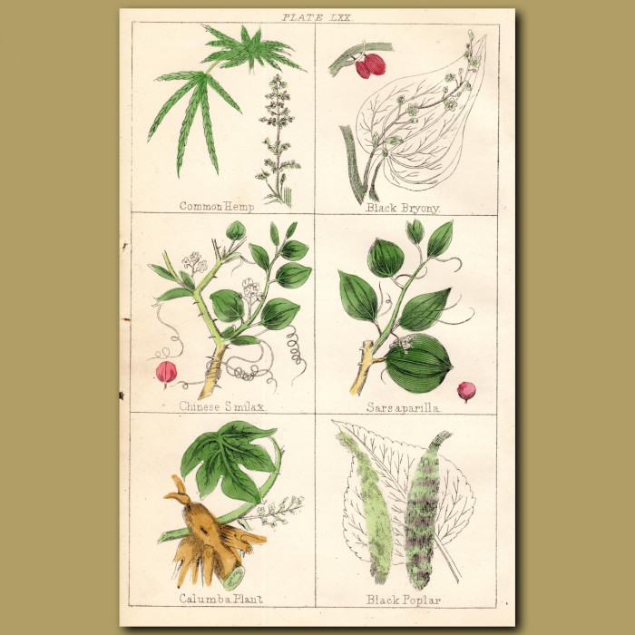 Common Hemp (Cannabis), Black Bryony, Chinese Smilax: Genuine antique print for sale.