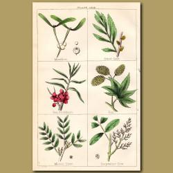 Mistletoe, Hops,Turpentine Tree