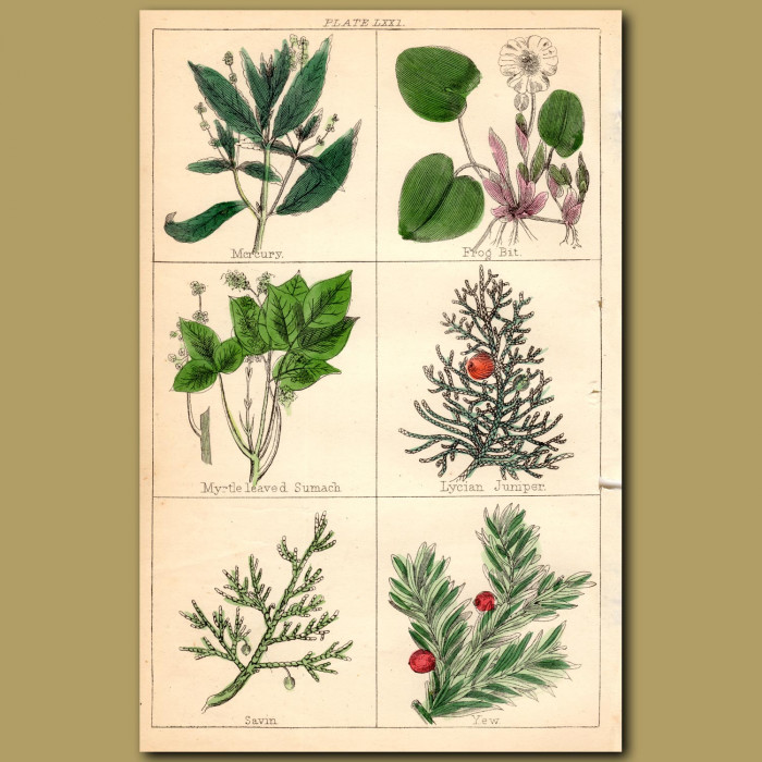 Yew, Frog Bit, Mystle-leaved Sumach: Genuine antique print for sale.