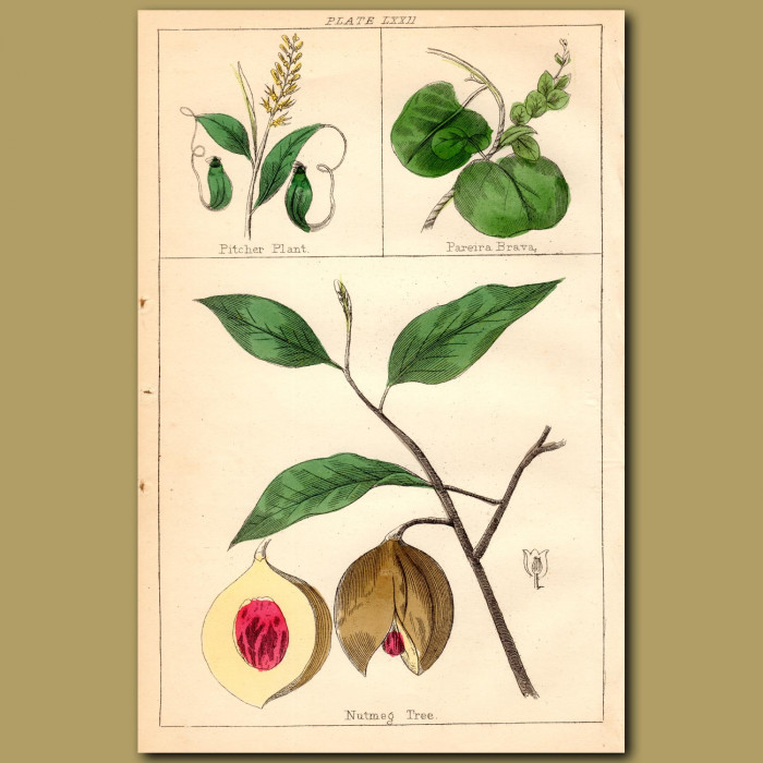 Pitcher Plant, Nutmeg Tree, Pareira Brava: Genuine antique print for sale.