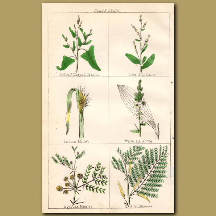 White Hellebore, Egyptian Mimosa, Catchechu Mimosa: Genuine antique print for sale.