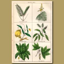 Sensitive Plant, Acacia, Sycamore
