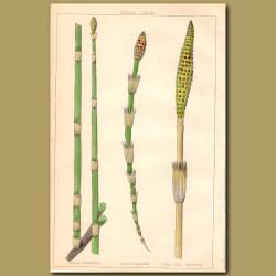 Rough Horsetail, Corn Horsetail, Great Mud Horsetail