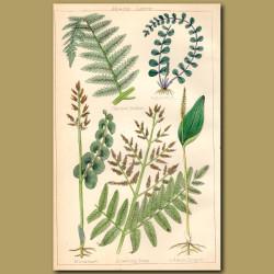 Ferns: Common Brakes, Spleenwort, Moonwort, Adders Tongue