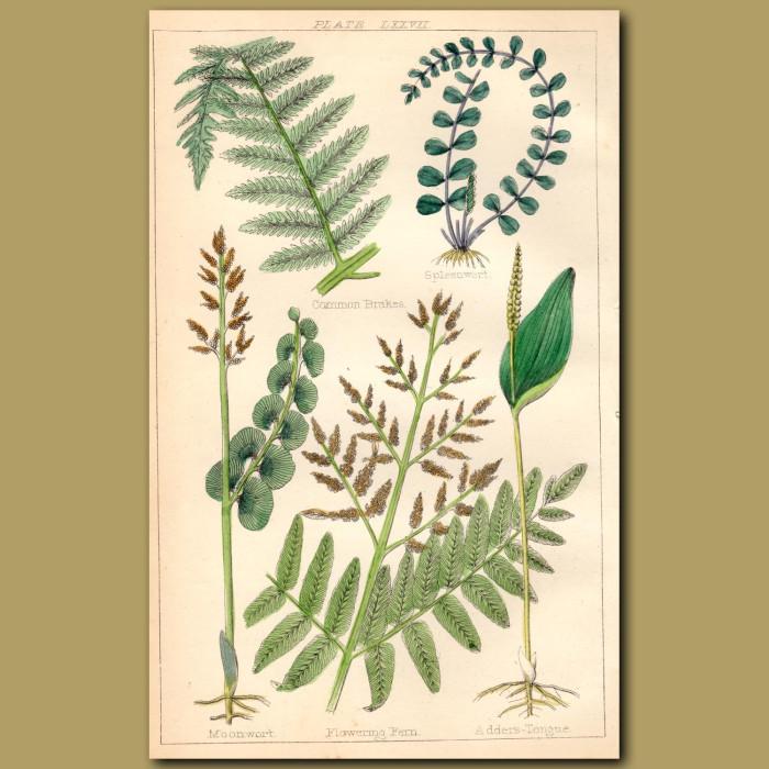 Ferns: Common Brakes, Spleenwort, Moonwort, Adders Tongue: Genuine antique print for sale.
