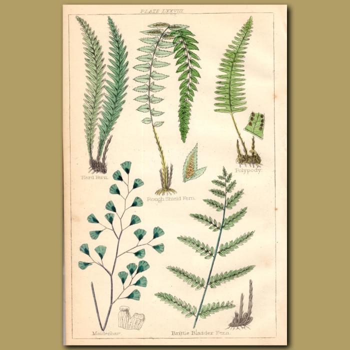 Ferns: Hard Fern, Rough Shield Fern, Polypody: Genuine antique print for sale.