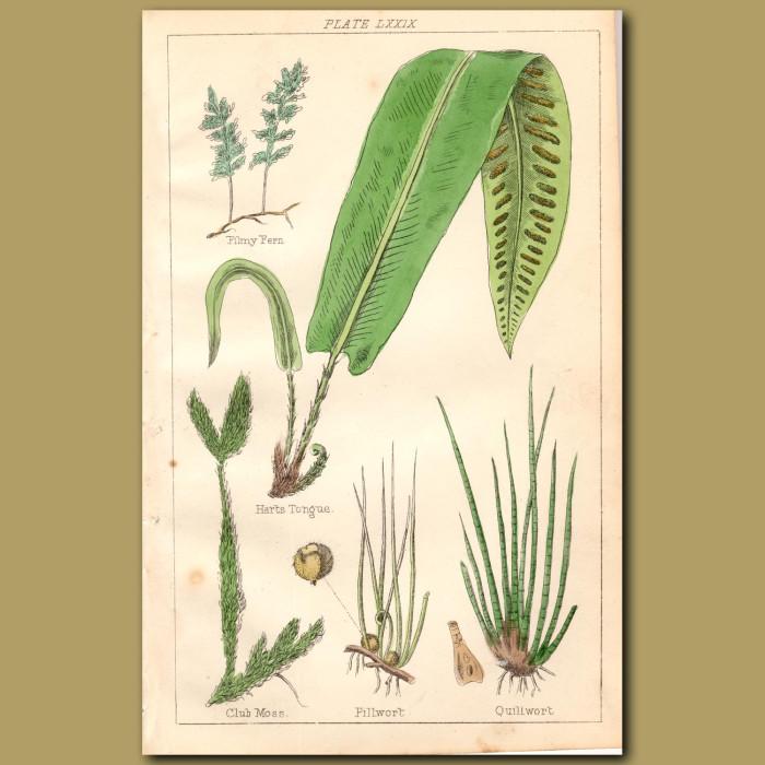Ferns: Filmy Fern, Hart's Tongue, Club Moss: Genuine antique print for sale.