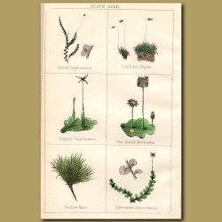Moss: Jungermannia, Star Headed Marchantia, Feather Moss