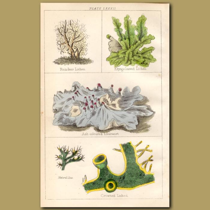 Reindeer Lichen, Eryngo leaved Lichen, Ash coloured lIverwort: Genuine antique print for sale.