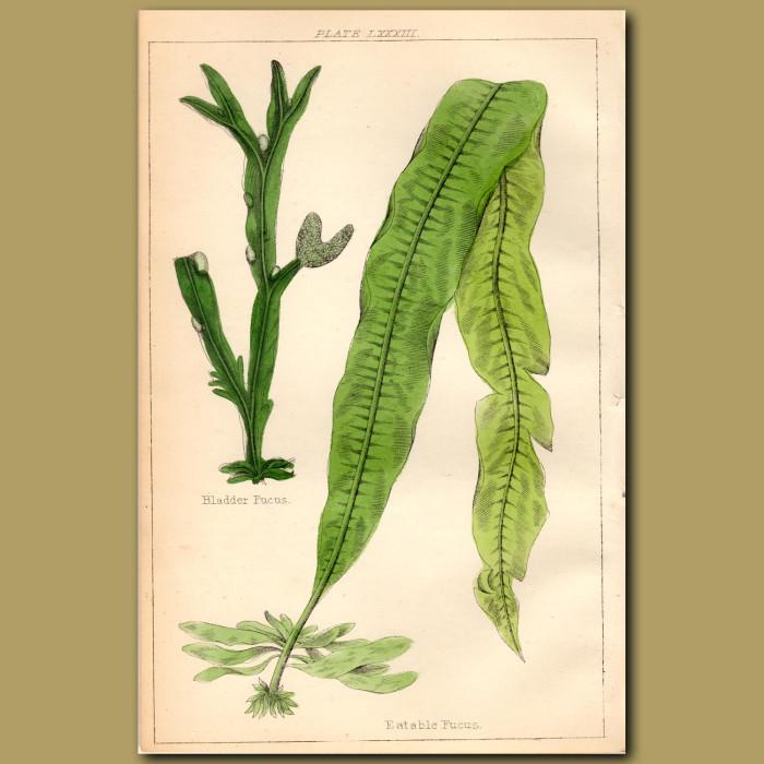 Bladder Fucus, Eatable Fucus: Genuine antique print for sale.