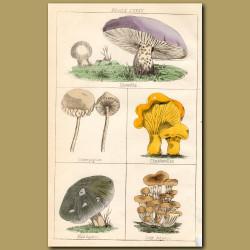 Mushrooms: Blewitts. Champignon, Chanterelles