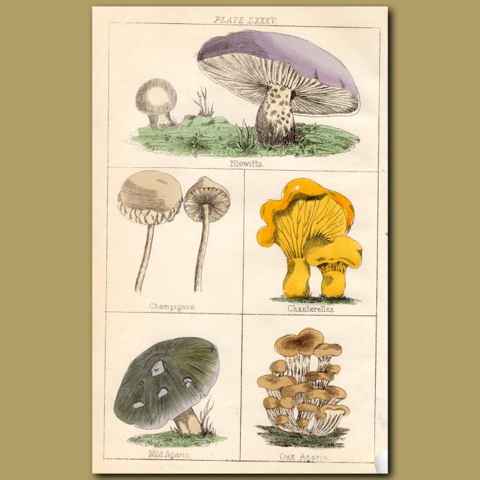 Mushrooms: Blewitts. Champignon, Chanterelles: Genuine antique print for sale.