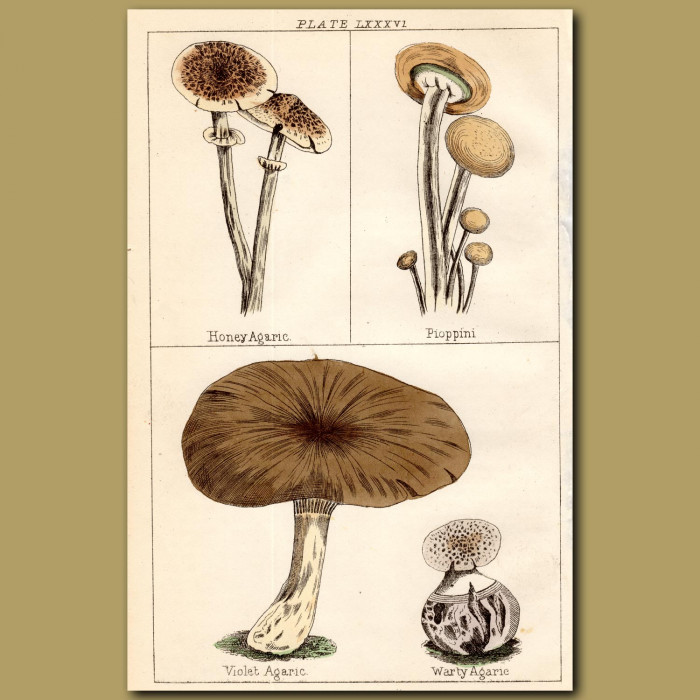 Mushrooms: Honey Agaric. Pioppini, Violet Agaric, Warty Agaric: Genuine antique print for sale.