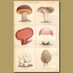 Mushrooms: Wood Boletus, Prickley Fungus, Liver Boletus