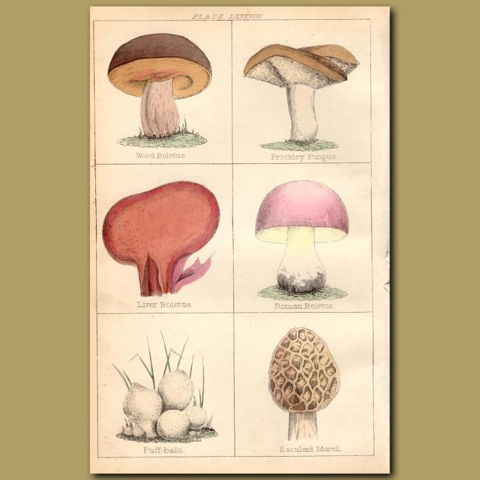 Mushrooms: Wood Boletus, Prickley Fungus, Liver Boletus: Genuine antique print for sale.