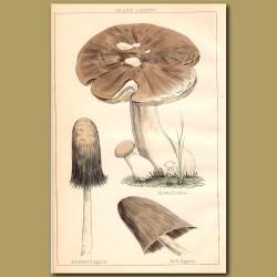 Mushrooms: Brown Boletus,Puckered Agaric, Bell Agaric